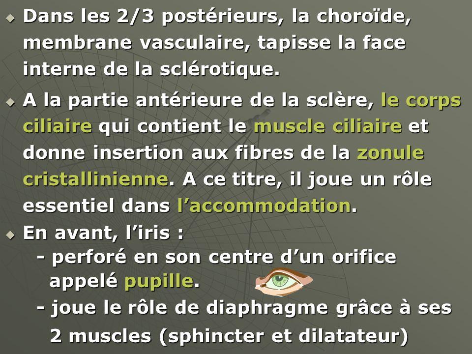 Dans les 2/3 postérieurs, la choroïde, membrane vasculaire, tapisse la face interne de la sclérotique. Dans les 2/3 postérieurs, la choroïde, membrane