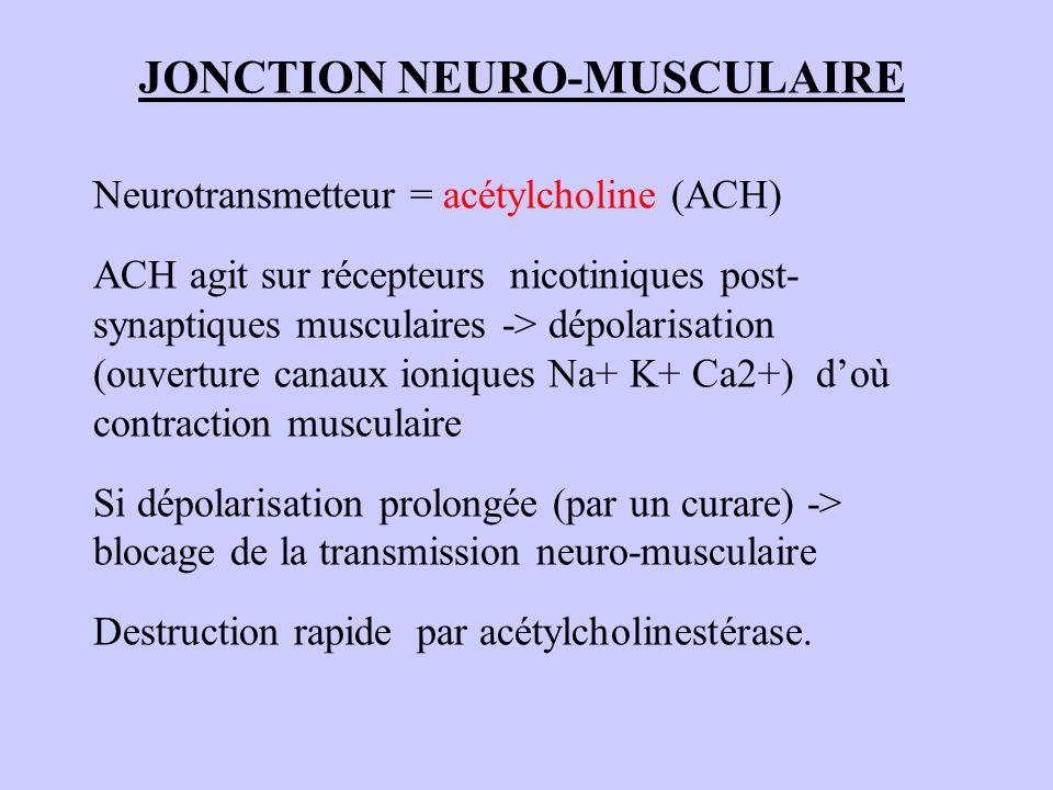 JONCTION NEURO-MUSCULAIRE Neurotransmetteur = acétylcholine (ACH) ACH agit sur récepteurs nicotiniques post- synaptiques musculaires -> dépolarisation
