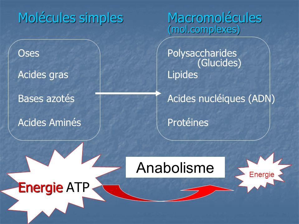 Anabolisme Molécules simplesMacromolécules (mol.complexes) OsesPolysaccharides (Glucides) Acides grasLipides Bases azotésAcides nucléiques (ADN) Acides AminésProtéines Energie ATP Energie