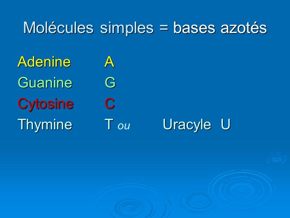 Molécules simples = bases azotés AdenineA GuanineG CytosineC ThymineT UracyleU ThymineT ou UracyleU