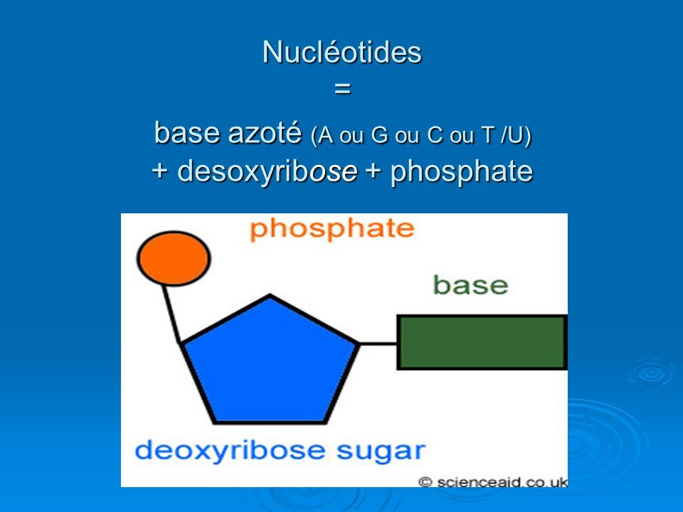 Nucléotides = base azoté (A ou G ou C ou T /U) + desoxyribose + phosphate