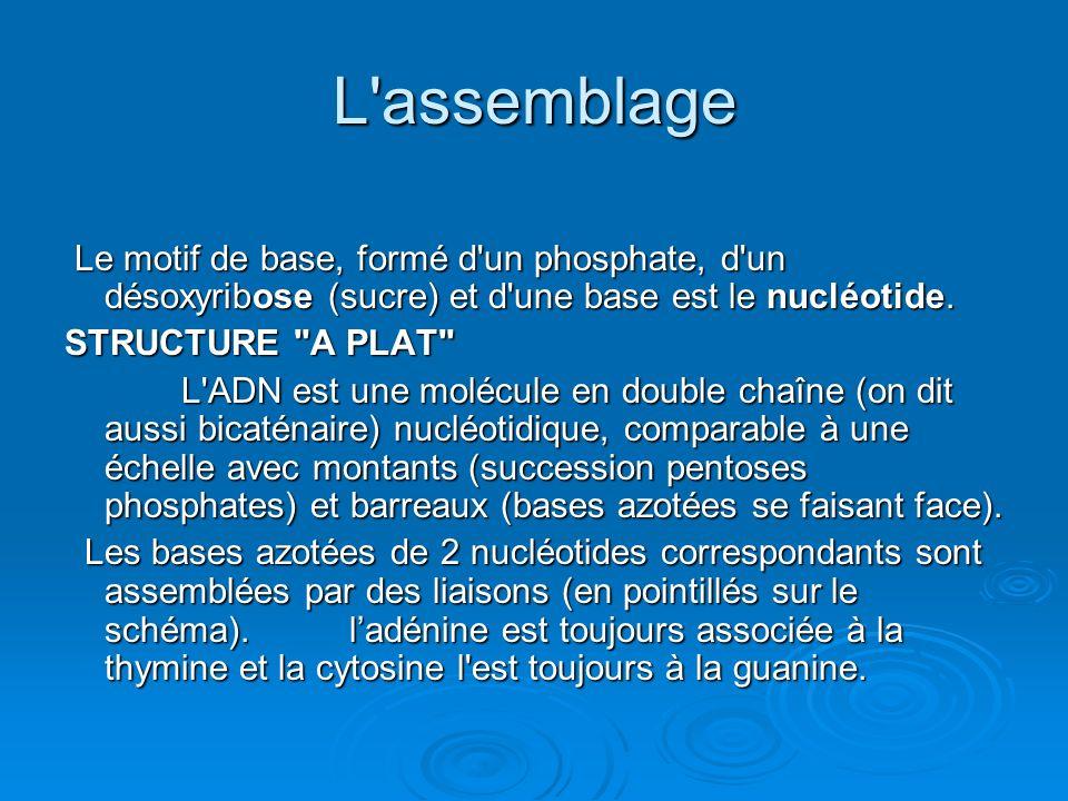 L'assemblage Le motif de base, formé d'un phosphate, d'un désoxyribose (sucre) et d'une base est le nucléotide. Le motif de base, formé d'un phosphate