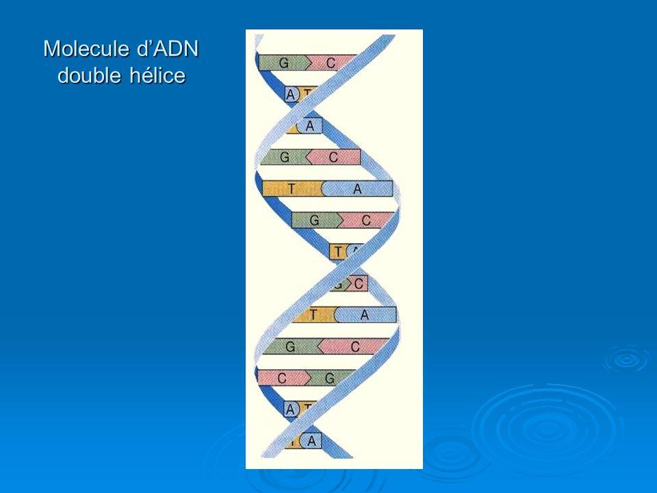 Molecule dADN double hélice