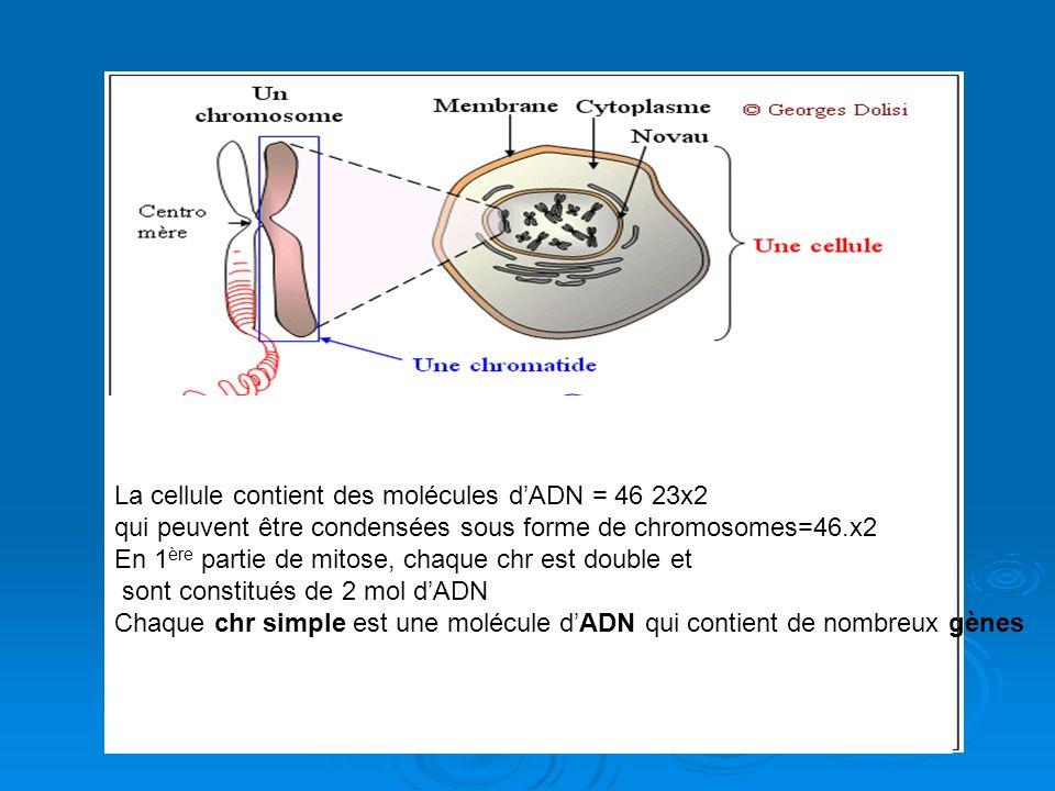 La cellule contient des molécules dADN = 46 23x2 qui peuvent être condensées sous forme de chromosomes=46.x2 En 1 ère partie de mitose, chaque chr est