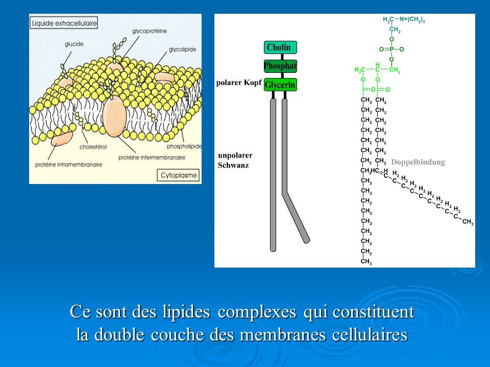Ce sont des lipides complexes qui constituent la double couche des membranes cellulaires