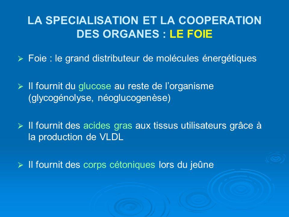 LA SPECIALISATION ET LA COOPERATION DES ORGANES : LE FOIE Foie : le grand distributeur de molécules énergétiques Il fournit du glucose au reste de lor