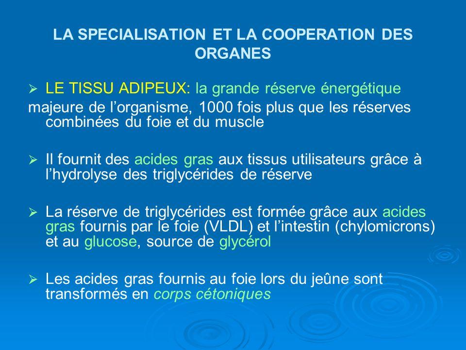 LA SPECIALISATION ET LA COOPERATION DES ORGANES LE TISSU ADIPEUX: la grande réserve énergétique majeure de lorganisme, 1000 fois plus que les réserves
