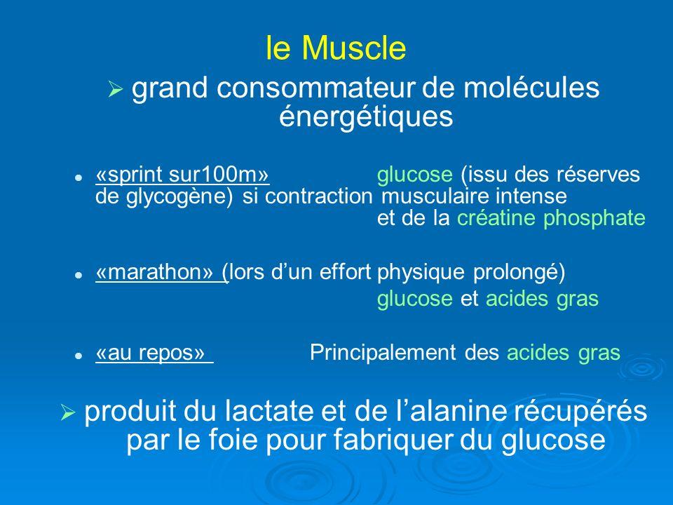 grand consommateur de molécules énergétiques «sprint sur100m»glucose (issu des réserves de glycogène) si contraction musculaire intense et de la créat