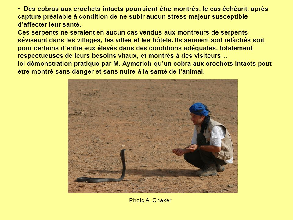 Photo A. Chaker Des cobras aux crochets intacts pourraient être montrés, le cas échéant, après capture préalable à condition de ne subir aucun stress