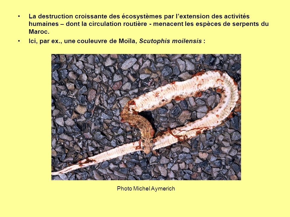 La destruction croissante des écosystèmes par lextension des activités humaines – dont la circulation routière - menacent les espèces de serpents du M