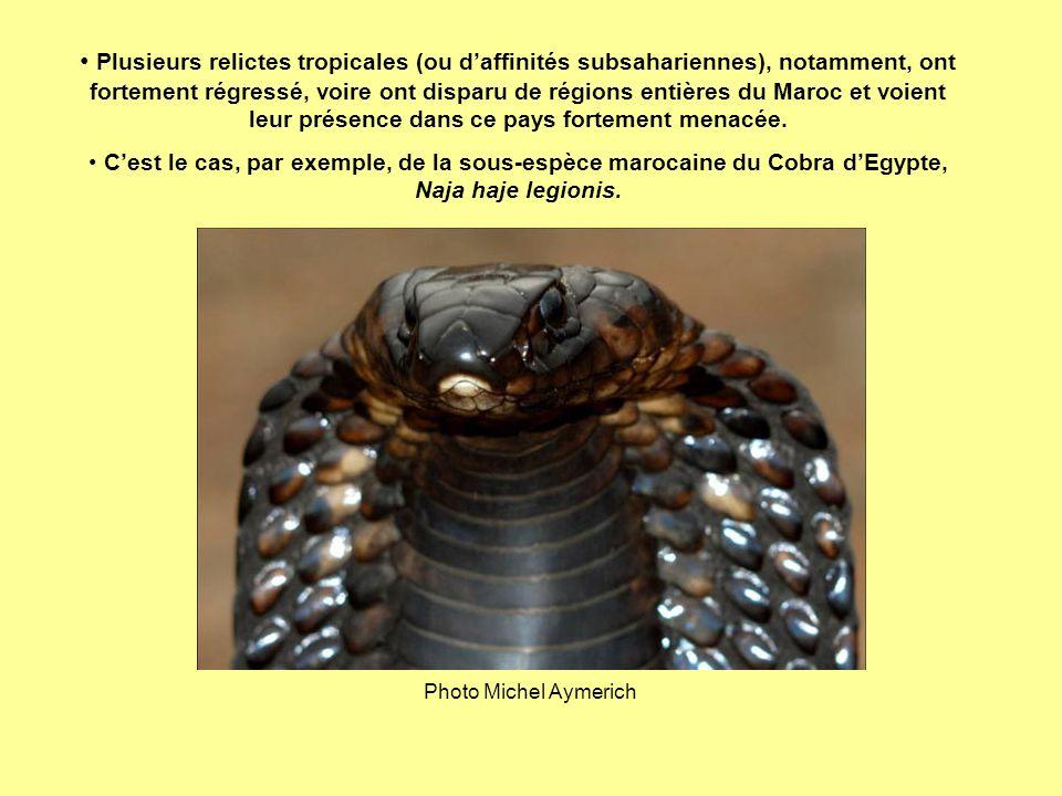 Plusieurs relictes tropicales (ou daffinités subsahariennes), notamment, ont fortement régressé, voire ont disparu de régions entières du Maroc et voi