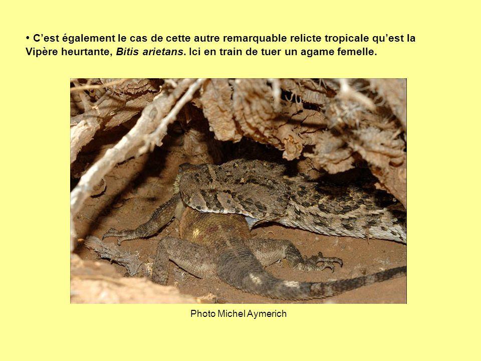 Cest également le cas de cette autre remarquable relicte tropicale quest la Vipère heurtante, Bitis arietans. Ici en train de tuer un agame femelle. P
