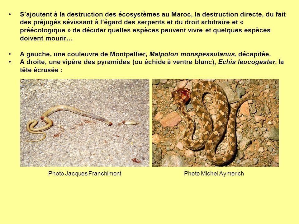Sajoutent à la destruction des écosystèmes au Maroc, la destruction directe, du fait des préjugés sévissant à légard des serpents et du droit arbitrai