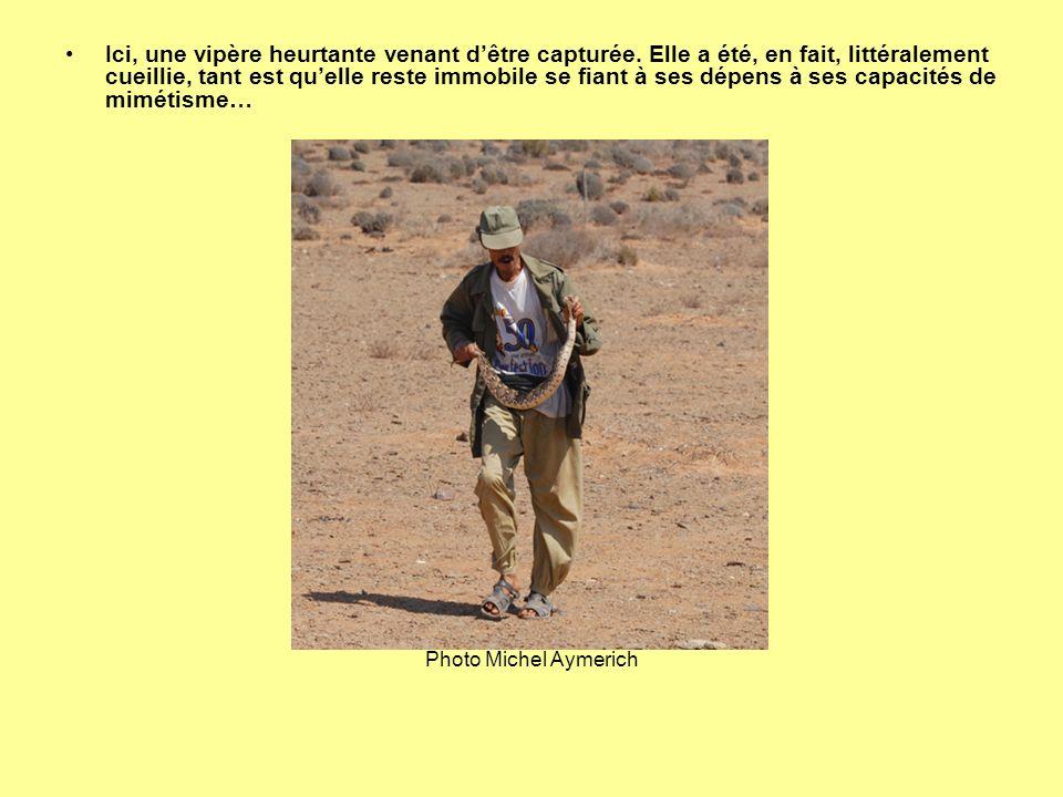 Vipère heurtante et vipère de Mauritanie (Macrovipera mauritanica) capturées « attendant » dêtre achetées par les montreurs de serpents et maintenues déshydratées dans une caisse sans eau et sans nourriture, parfois durant de longs mois, jusquà ce que mort sensuive… Les couleuvres de Montpellier et cobras subissent souvent le même sort.