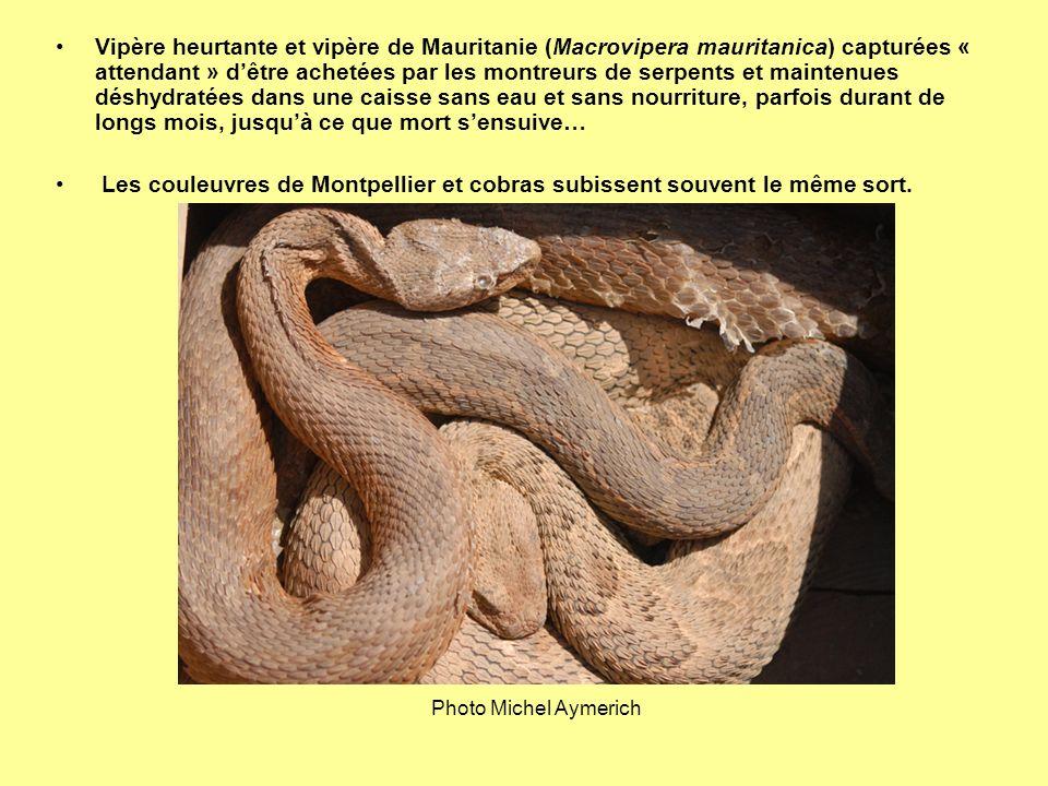 Vipère heurtante et vipère de Mauritanie (Macrovipera mauritanica) capturées « attendant » dêtre achetées par les montreurs de serpents et maintenues