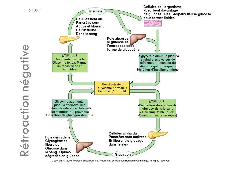 p.1057 Cellules bêta du Pancréas sont Activé et libèrent De linsuline Dans le sang Insuline Foie absorbe le glucose et lentrepose sous forme de glycogène STIMULUS: Augmentation de la Glycémie (p.