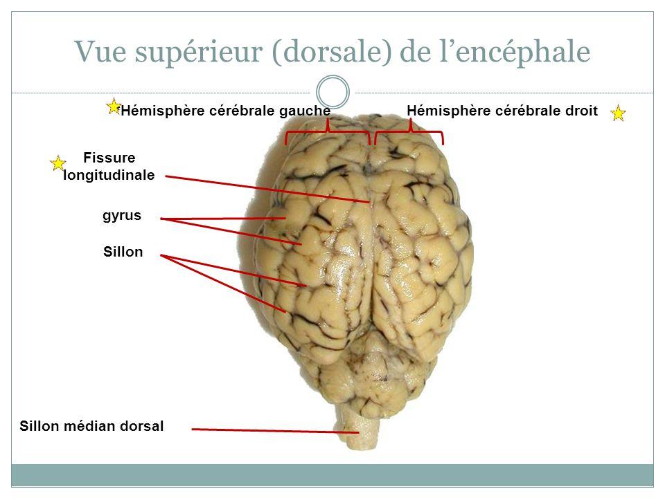 Fissure longitudinale gyrus Sillon Sillon médian dorsal Vue supérieur (dorsale) de lencéphale Hémisphère cérébrale droit*Hémisphère cérébrale gauche