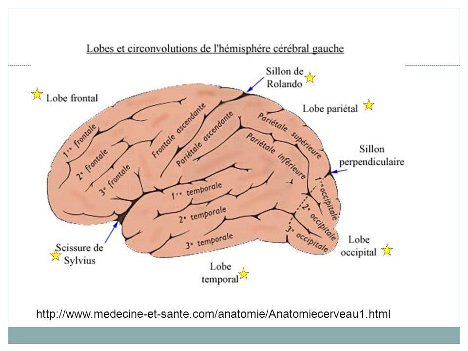 Vue inférieure (ventrale) de lencéphale Fissure longitudinale Bulbe olfactif Nerf optique Chiasma optique Infundibulum (hypophyse enlevée) Pédoncules cérébraux Cervelet Bulbe rachidien Pont de Varole Moelle épiniaire