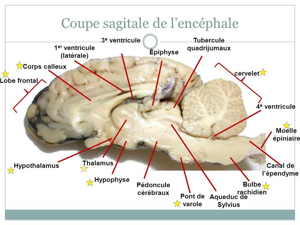 Coupe sagitale de lencéphale Corps calleux 1 er ventricule (latérale) 3 e ventricule Épiphyse Tubercule quadrijumaux cervelet 4 e ventricule Moelle ép