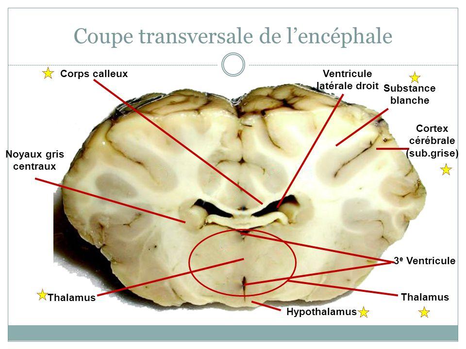 Coupe transversale de lencéphale Thalamus Corps calleux Cortex cérébrale (sub.grise) Substance blanche Hypothalamus Noyaux gris centraux 3 e Ventricul