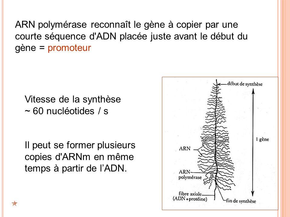 ARN polymérase reconnaît le gène à copier par une courte séquence d'ADN placée juste avant le début du gène = promoteur Vitesse de la synthèse ~ 60 nu