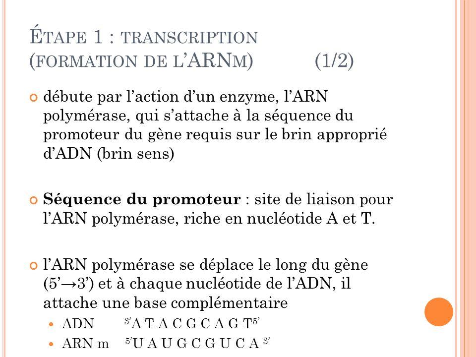 É TAPE 1 : TRANSCRIPTION ( FORMATION DE L ARN M )(1/2) débute par laction dun enzyme, lARN polymérase, qui sattache à la séquence du promoteur du gène