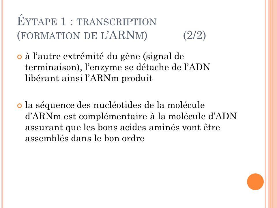 É YTAPE 1 : TRANSCRIPTION ( FORMATION DE L ARN M )(2/2) à lautre extrémité du gène (signal de terminaison), lenzyme se détache de lADN libérant ainsi