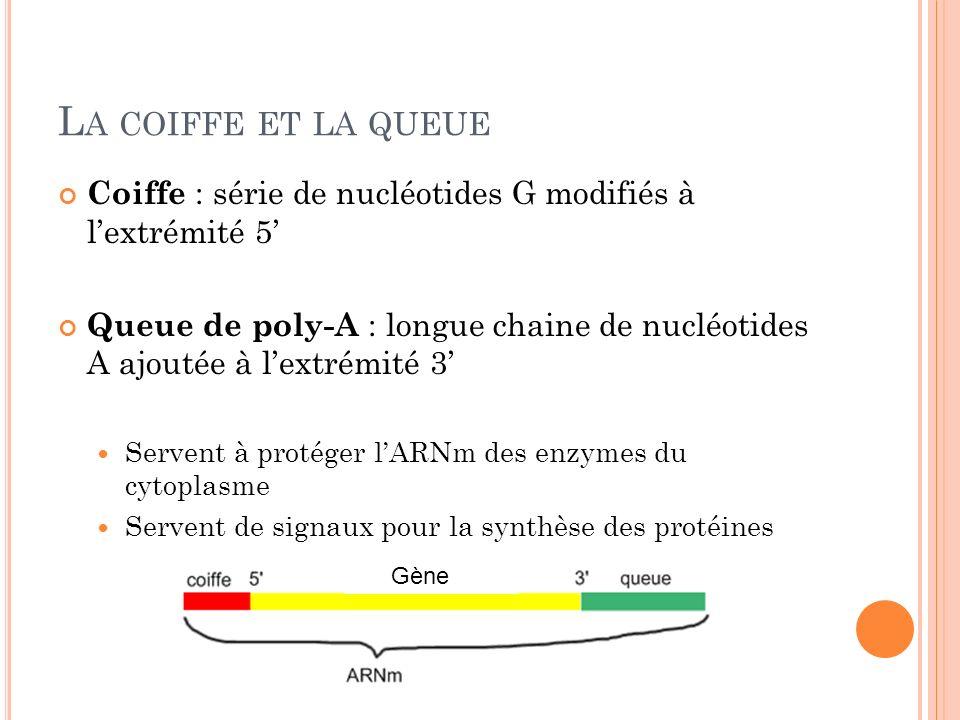 L A COIFFE ET LA QUEUE Coiffe : série de nucléotides G modifiés à lextrémité 5 Queue de poly-A : longue chaine de nucléotides A ajoutée à lextrémité 3