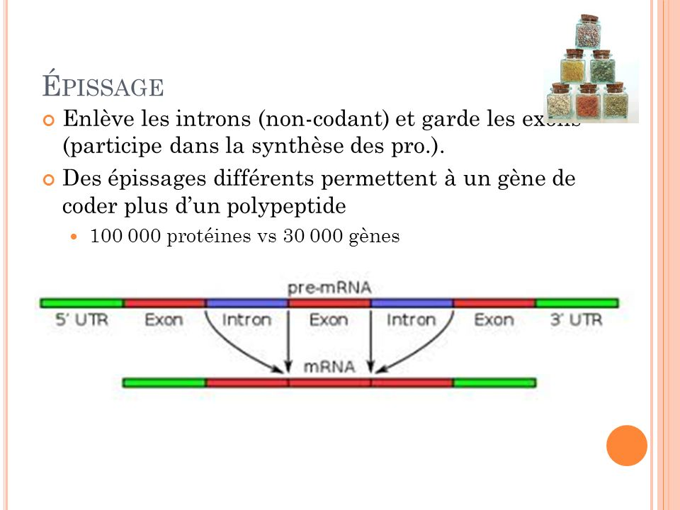 É PISSAGE Enlève les introns (non-codant) et garde les exons (participe dans la synthèse des pro.). Des épissages différents permettent à un gène de c