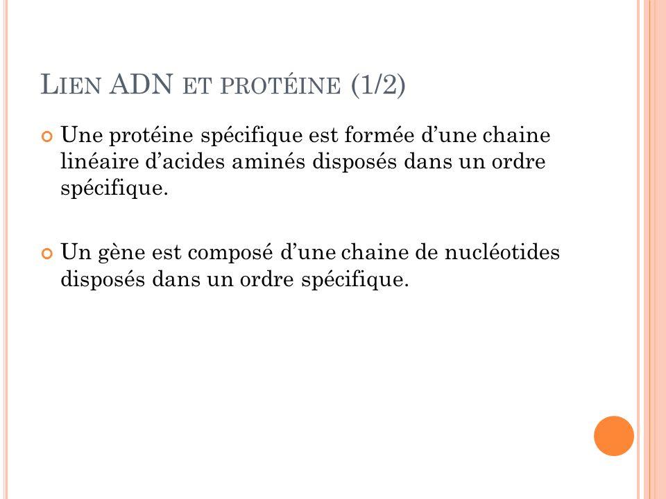 L IEN ADN ET PROTÉINE (1/2) Une protéine spécifique est formée dune chaine linéaire dacides aminés disposés dans un ordre spécifique. Un gène est comp