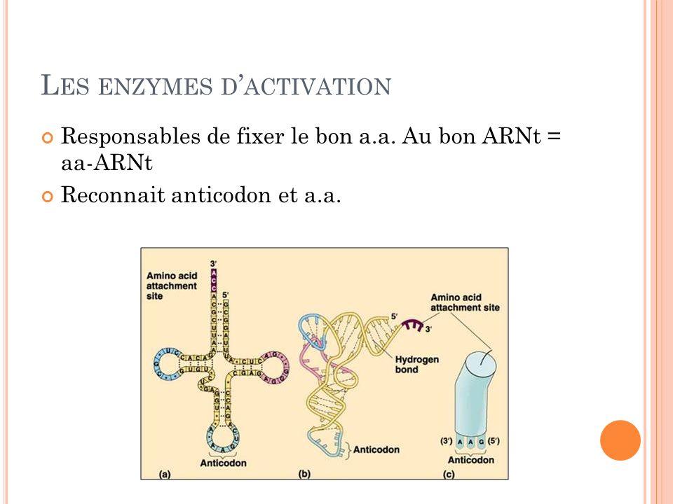 L ES ENZYMES D ACTIVATION Responsables de fixer le bon a.a. Au bon ARNt = aa-ARNt Reconnait anticodon et a.a.