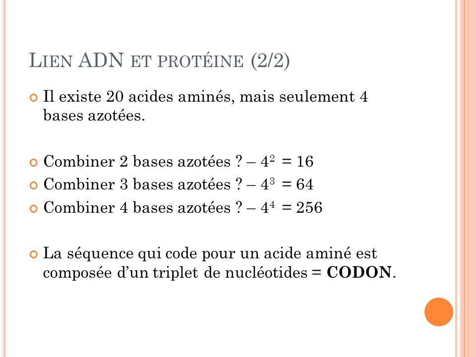 L IEN ADN ET PROTÉINE (2/2) Il existe 20 acides aminés, mais seulement 4 bases azotées. Combiner 2 bases azotées ? – 4 2 = 16 Combiner 3 bases azotées