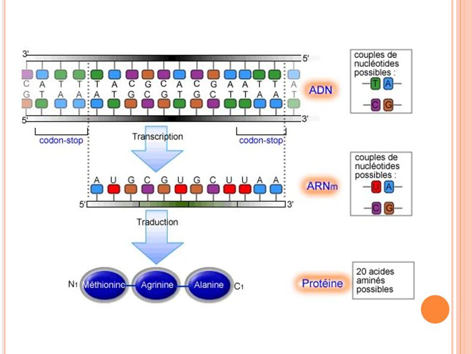 E XPÉRIENCE DE C RICK Si on ajoute un triplet de nucléotide dans lADN dune bactérie = changement mineur Si on ajoute un seul nucléotide ou une suite de nucléotides dans lADN dune bactérie = changement majeur.