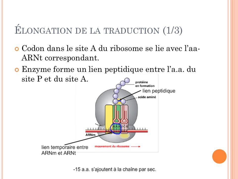 É LONGATION DE LA TRADUCTION (1/3) Codon dans le site A du ribosome se lie avec laa- ARNt correspondant. Enzyme forme un lien peptidique entre la.a. d