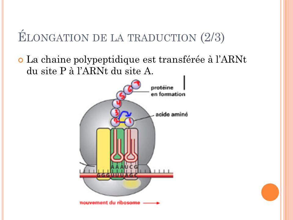 É LONGATION DE LA TRADUCTION (2/3) La chaine polypeptidique est transférée à lARNt du site P à lARNt du site A.