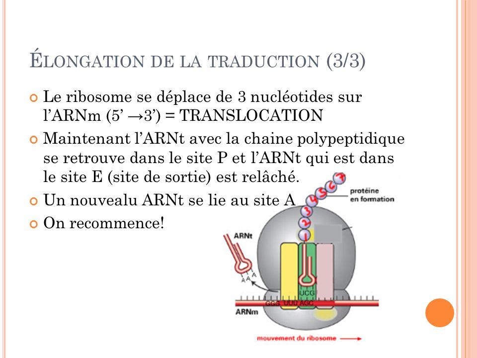É LONGATION DE LA TRADUCTION (3/3) Le ribosome se déplace de 3 nucléotides sur lARNm (5 3) = TRANSLOCATION Maintenant lARNt avec la chaine polypeptidi