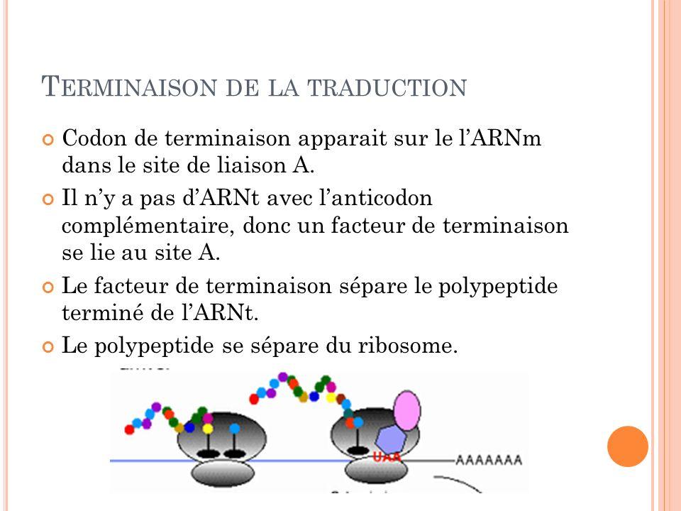 T ERMINAISON DE LA TRADUCTION Codon de terminaison apparait sur le lARNm dans le site de liaison A. Il ny a pas dARNt avec lanticodon complémentaire,