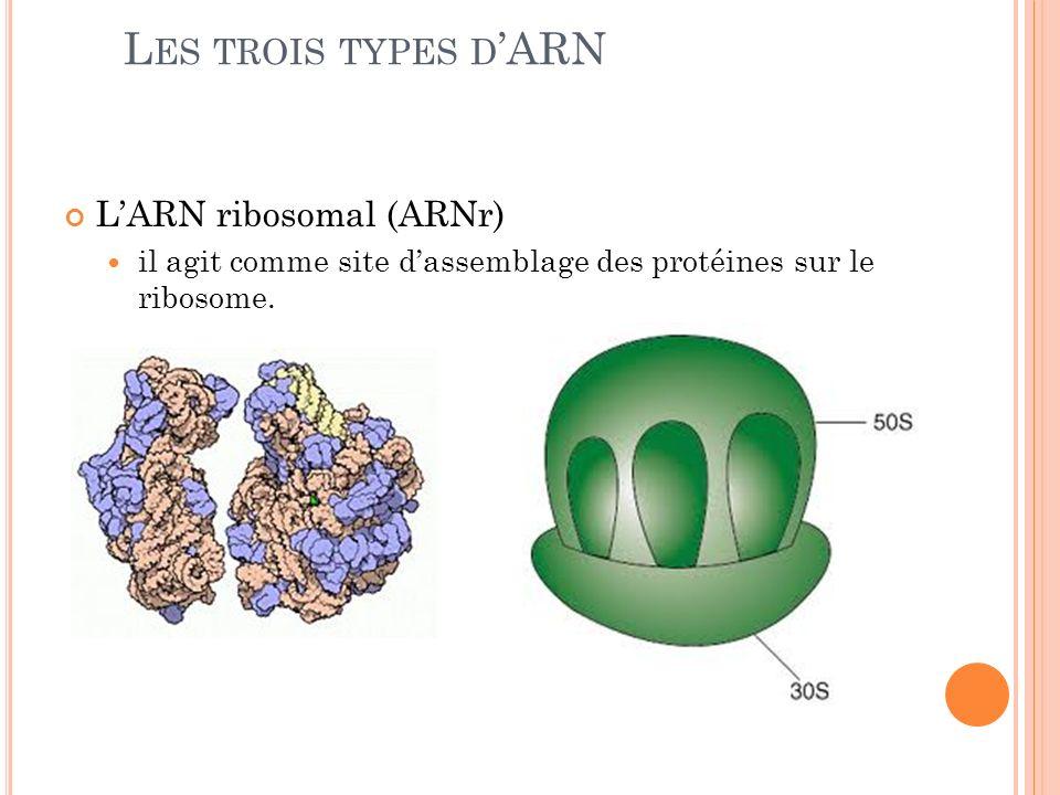 LARN ribosomal (ARNr) il agit comme site dassemblage des protéines sur le ribosome. L ES TROIS TYPES D ARN