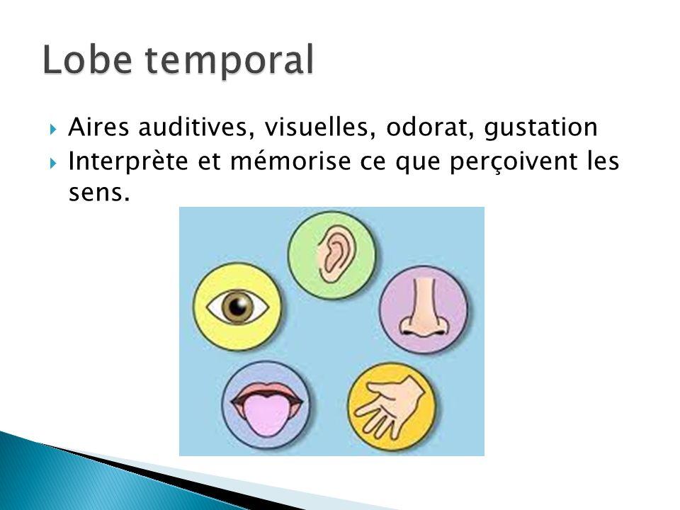 Aires auditives, visuelles, odorat, gustation Interprète et mémorise ce que perçoivent les sens.