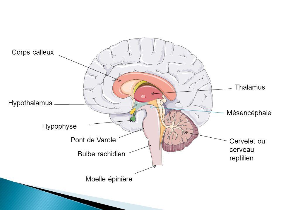 Corps calleux Hypothalamus Thalamus Cervelet ou cerveau reptilien Moelle épinière Hypophyse Pont de Varole Bulbe rachidien Mésencéphale