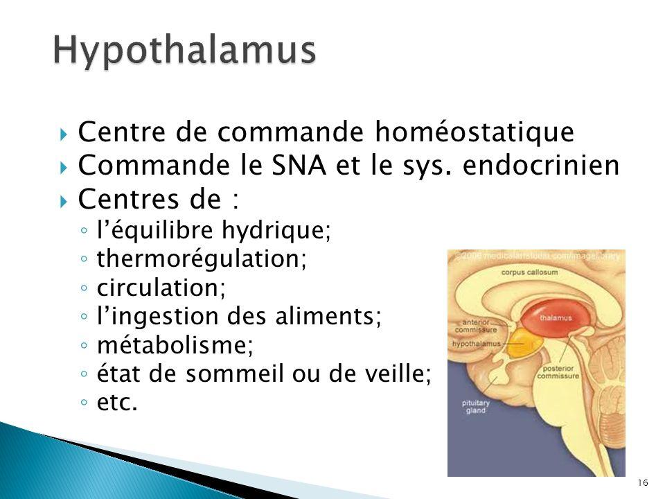 Centre de commande homéostatique Commande le SNA et le sys. endocrinien Centres de : léquilibre hydrique; thermorégulation; circulation; lingestion de