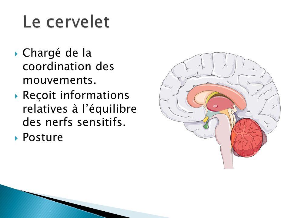 Chargé de la coordination des mouvements. Reçoit informations relatives à léquilibre des nerfs sensitifs. Posture