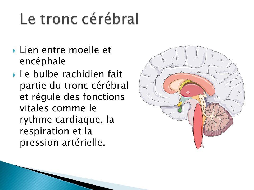 Lien entre moelle et encéphale Le bulbe rachidien fait partie du tronc cérébral et régule des fonctions vitales comme le rythme cardiaque, la respirat