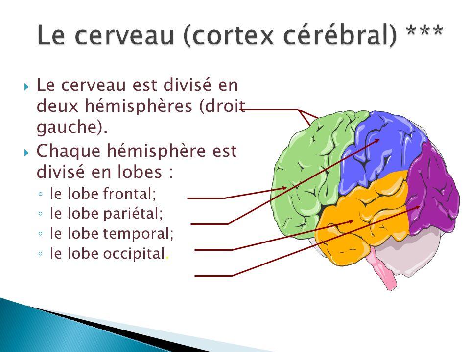 Le cerveau est divisé en deux hémisphères (droit gauche). Chaque hémisphère est divisé en lobes : le lobe frontal; le lobe pariétal; le lobe temporal;