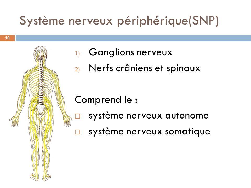 Système nerveux périphérique(SNP) 1) Ganglions nerveux 2) Nerfs crâniens et spinaux Comprend le : système nerveux autonome système nerveux somatique 1