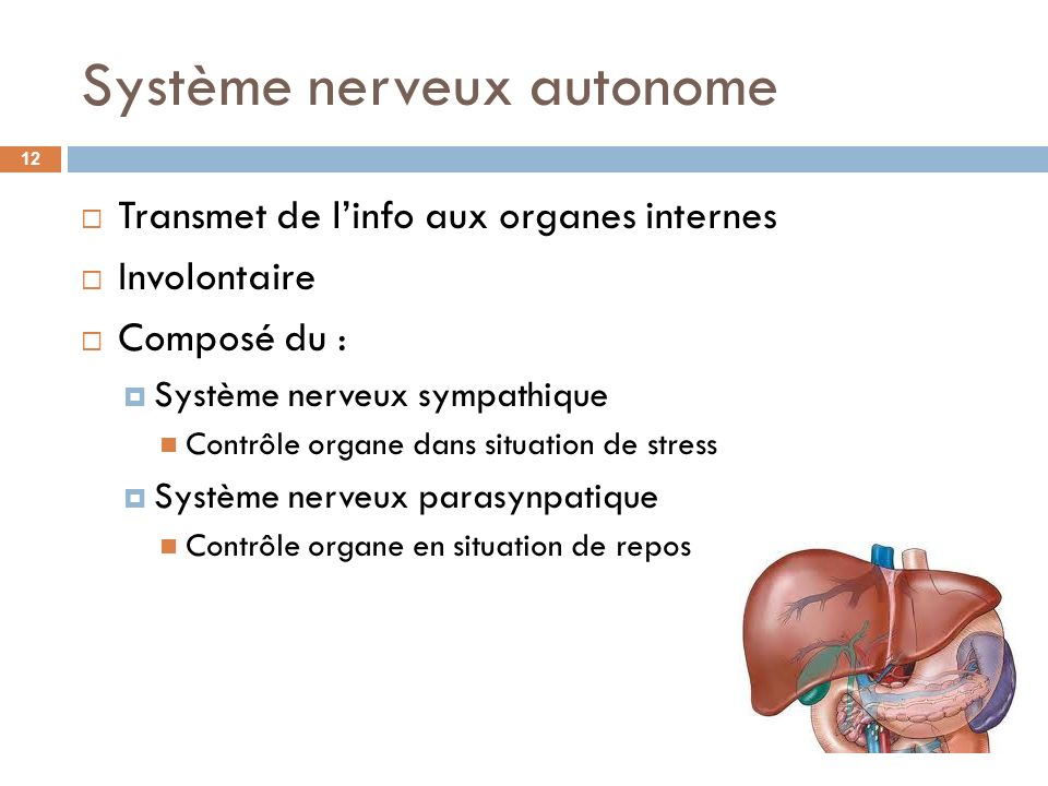 Système nerveux autonome Transmet de linfo aux organes internes Involontaire Composé du : Système nerveux sympathique Contrôle organe dans situation d