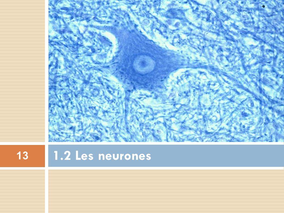 1.2 Les neurones 13