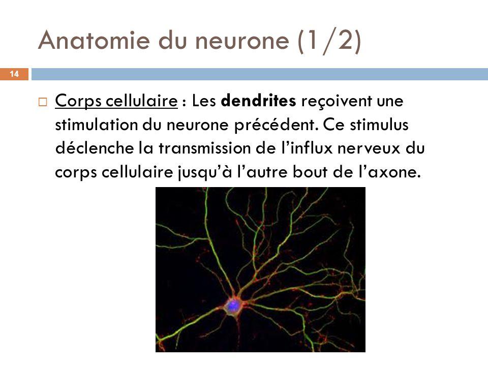 Anatomie du neurone (1/2) Corps cellulaire : Les dendrites reçoivent une stimulation du neurone précédent. Ce stimulus déclenche la transmission de li