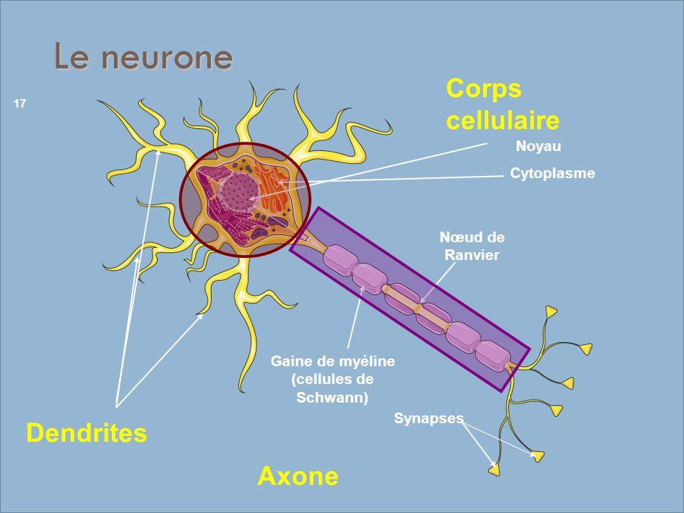 Le neurone Cytoplasme Noyau Gaine de myéline (cellules de Schwann) Nœud de Ranvier Synapses Corps cellulaire Dendrites Axone 17