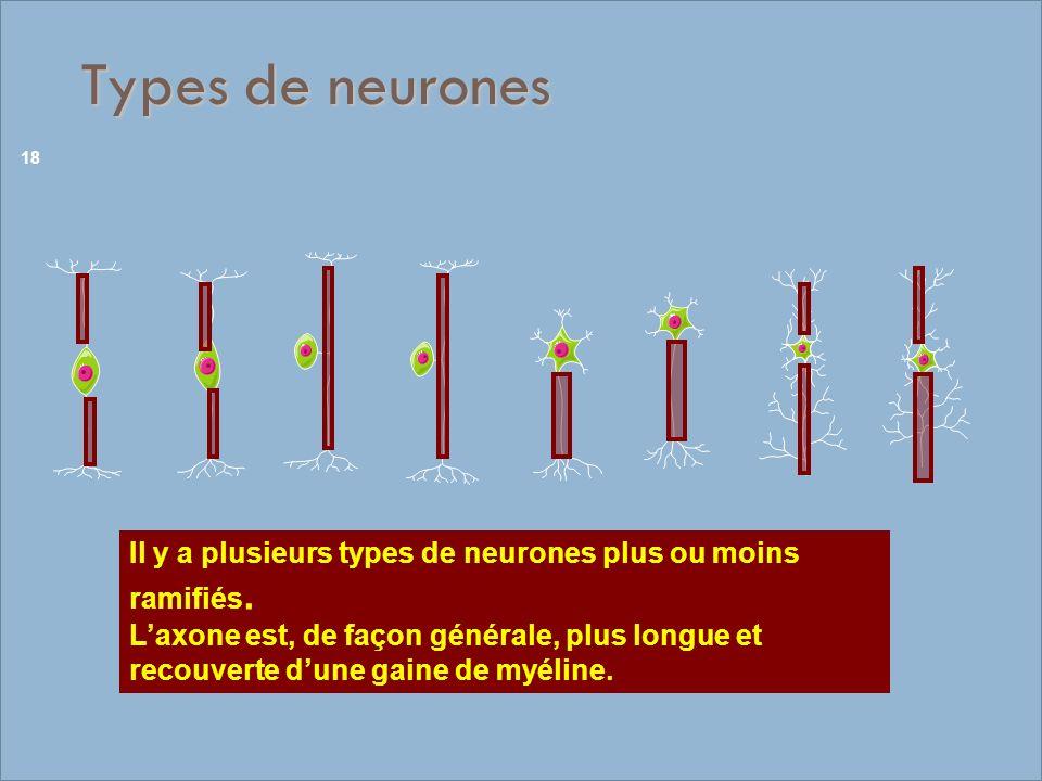 Types de neurones Il y a plusieurs types de neurones plus ou moins ramifiés. Laxone est, de façon générale, plus longue et recouverte dune gaine de my
